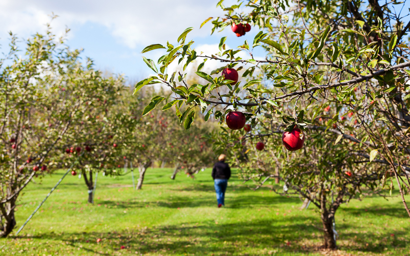 Apples & Cider in Great Lakes Bay Region