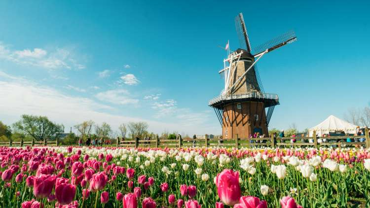 Authentic Dutch windmill in tulip field
