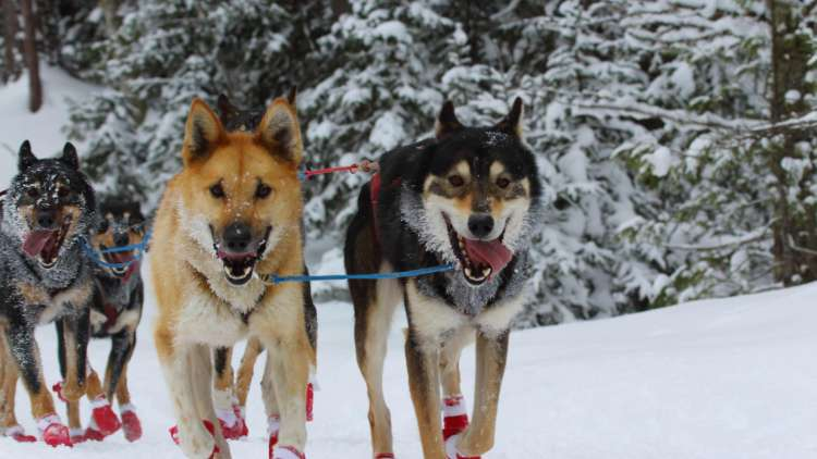 Team of dogs running through snowy forest