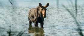 Female moose standing in water on Isle Royale