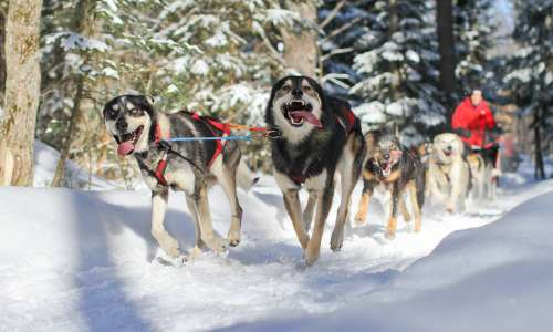How to Experience Dog Sledding in Michigan