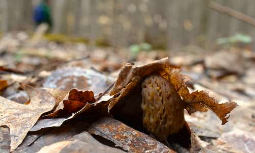 The Secret to Morel Mushroom Hunting in Pure Michigan