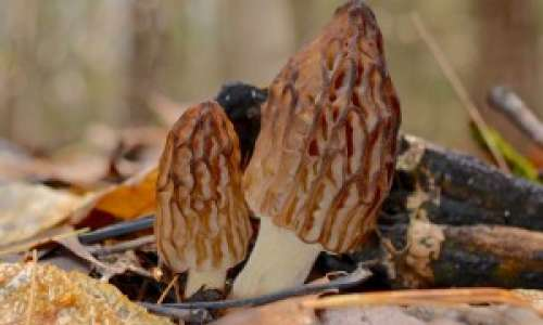 Morel Mushrooms in Michigan