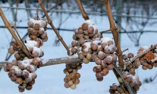 Michigan Ice Wine