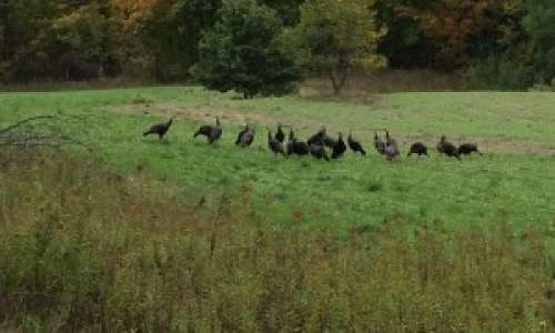 Turkey Hunting Season in Michigan - An Experience You Can't Miss