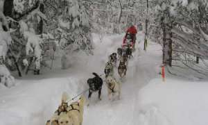 Team of sled dogs running through snowy forest