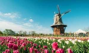 Tulips near a Dutch windmill in Holland.
