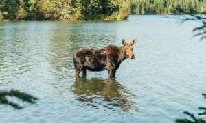 Moose standing in lake