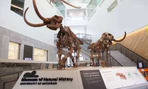 Mammoth fossil exhibit at a museum.