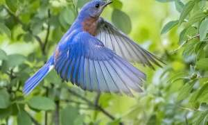 blue hummingbird fluttering in the trees