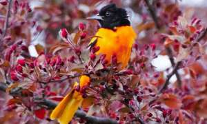 yellow bird with black head in a tree of red color