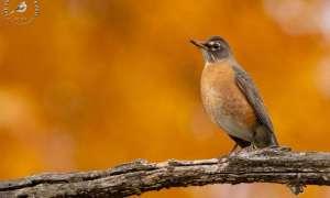 orange, brown and black bird sitting on a branch