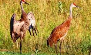 sandhill cranes reddish brown walking on the grass