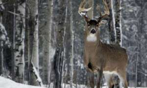 Buck standing in snowy woods