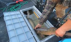 measuring a walleye on his tackle box