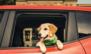 golden retriever looking out a car window, car is red
