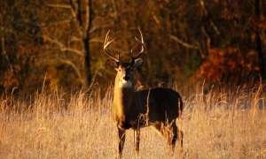 Buck in field on fall day