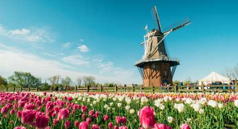 Dutch windmill by a tulip field.