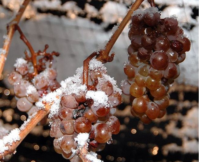 Grapes partially frozen on the vine
