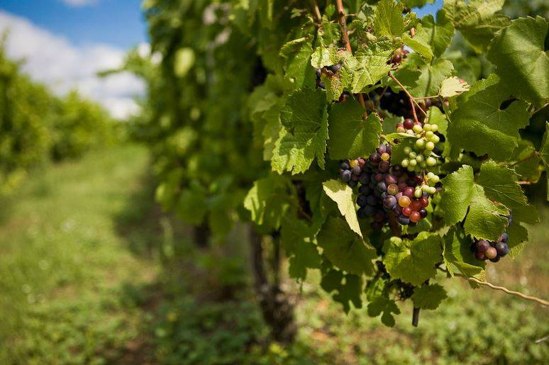 grapes for wine jesse land.jpg