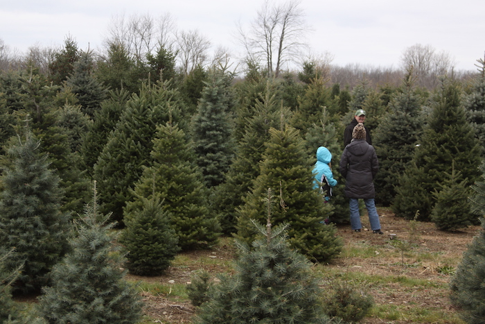 Family choosing tree at Loveberry's Tree Farm in Quicy - Start A Tradition At These Michigan Christmas Tree Farms Michigan