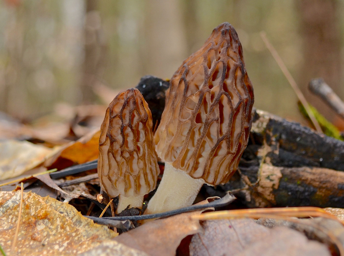 Close View of Morel Mushrooms in Michigan