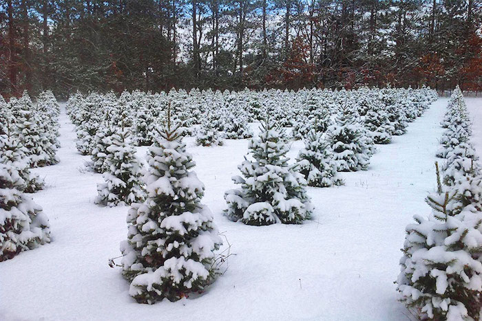 Snow covered trees at Runyans' Country Tree Farm