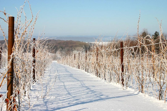 Chateau Grand Traverse Vineyard in Winter