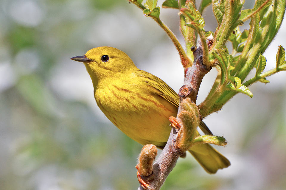 Trails and sanctuaries perfect for bird watching in michigan michigan yellow warbler publicscrutiny Gallery