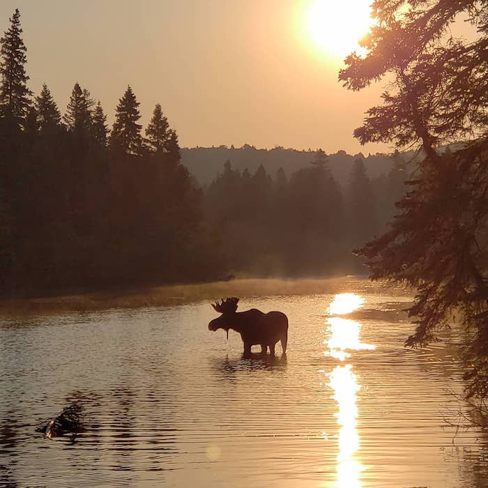 Moose in lake at sunset on Isle Royale