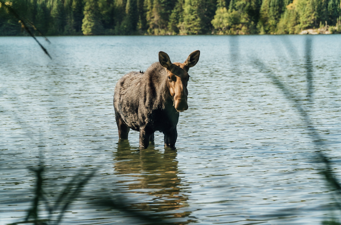 Moose wading in lake on Isle Royale