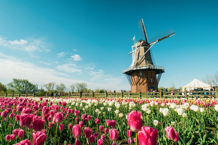 Tulips at the DeZwaan Windmill in Holland