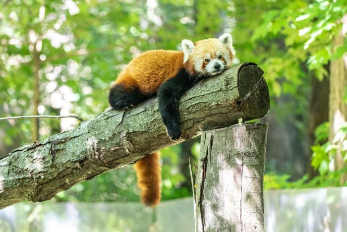 Red Panda at Binder Park Zoo