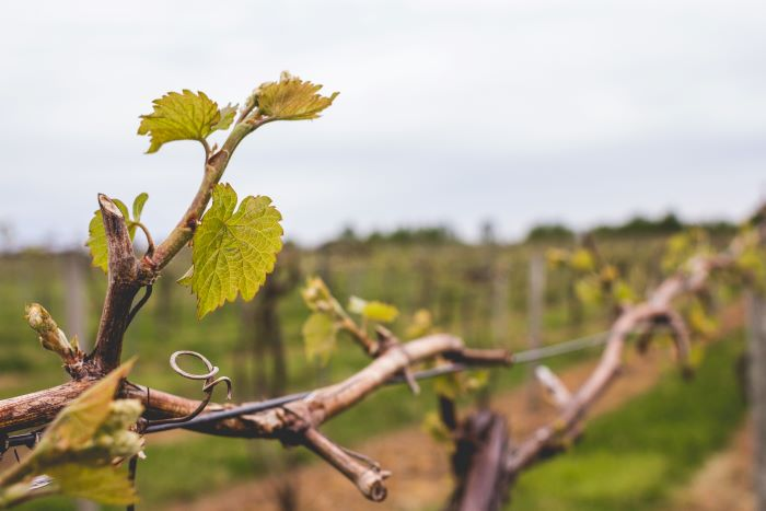 grapevine with leaves during spring